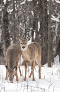 Croos country skiing in Michigan means wildlife viewing.
