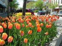 Holland Michigan Tulip Festival.